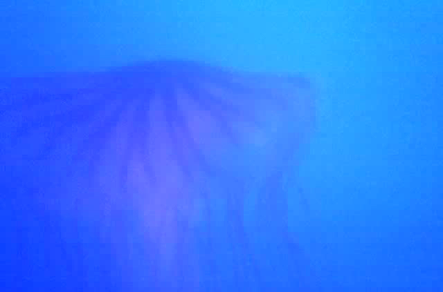 136.2BlueJellyfish.jpg