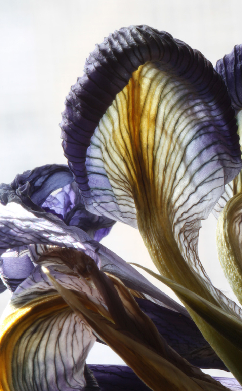 iris mushroom-web.jpg