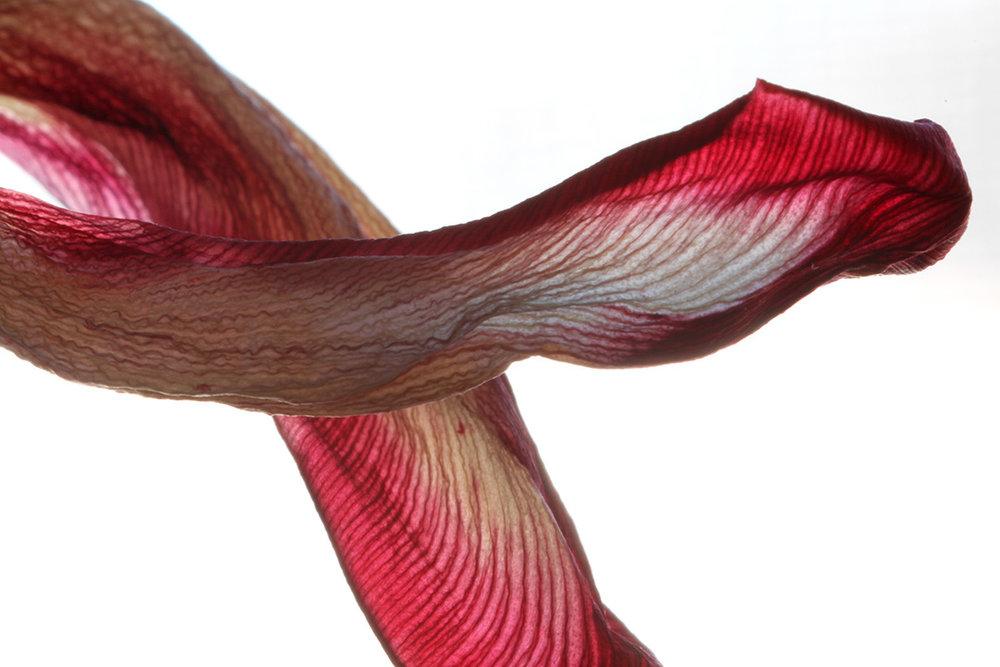tulip petals-web.jpg