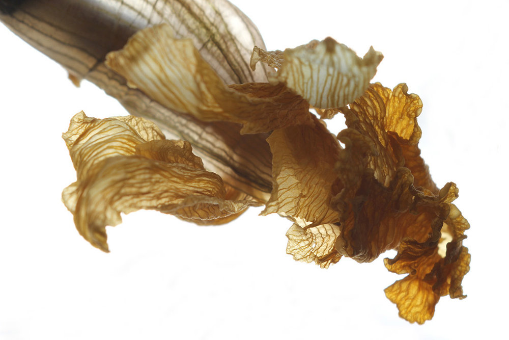 daffodil alien-web.jpg