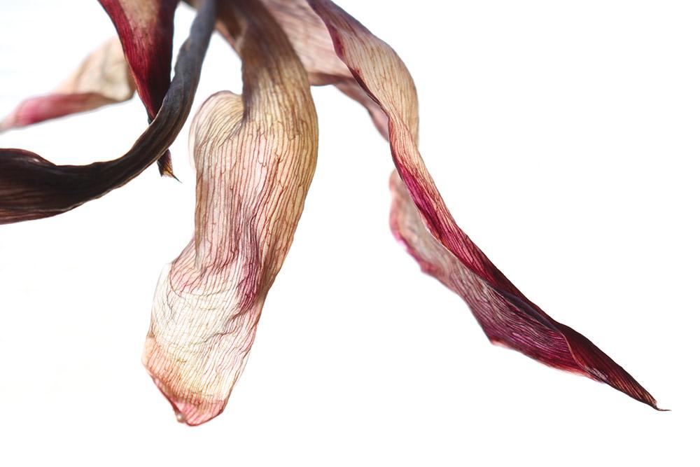 Reuland_tulip.jpg