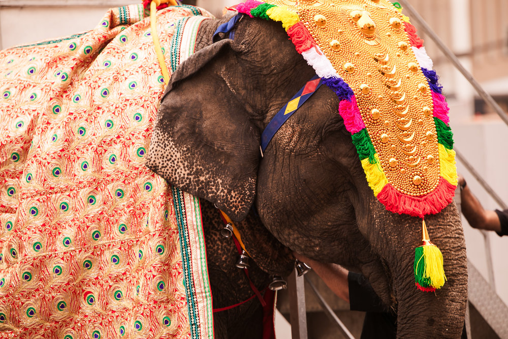 INDIAN WEDDING ELEPHANT.jpg
