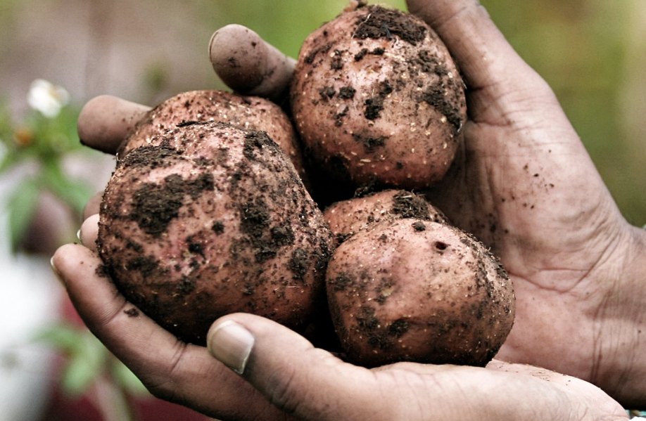 The Irish potato is highly nutritious: rich in fibre and vitamin C (which increases iron absorption).