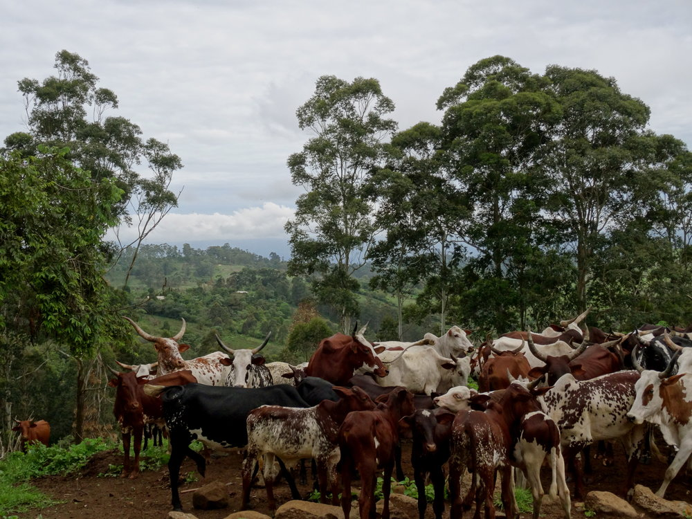 Conflict often arises when cattle and other animals stray into farmland and cause damage to crops.