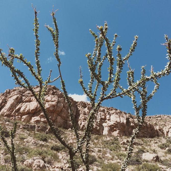 Ocotillo - Fouquieria splendens - keeper of the portal vein