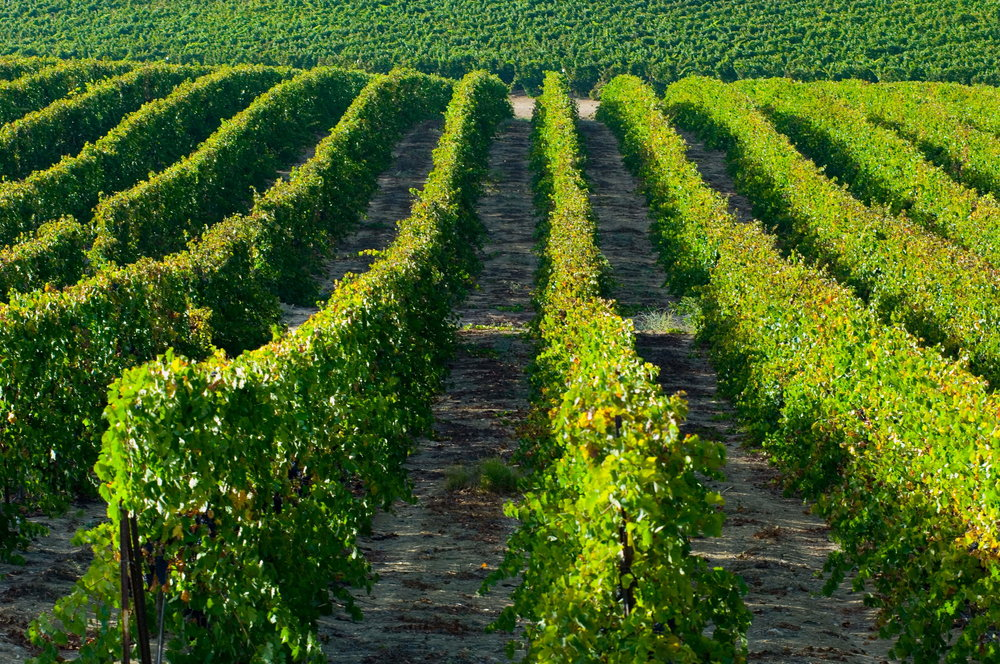 Carmel Winery's Kayoumi vineyard in the Gallilee. Photo courtesy Carmel Winery