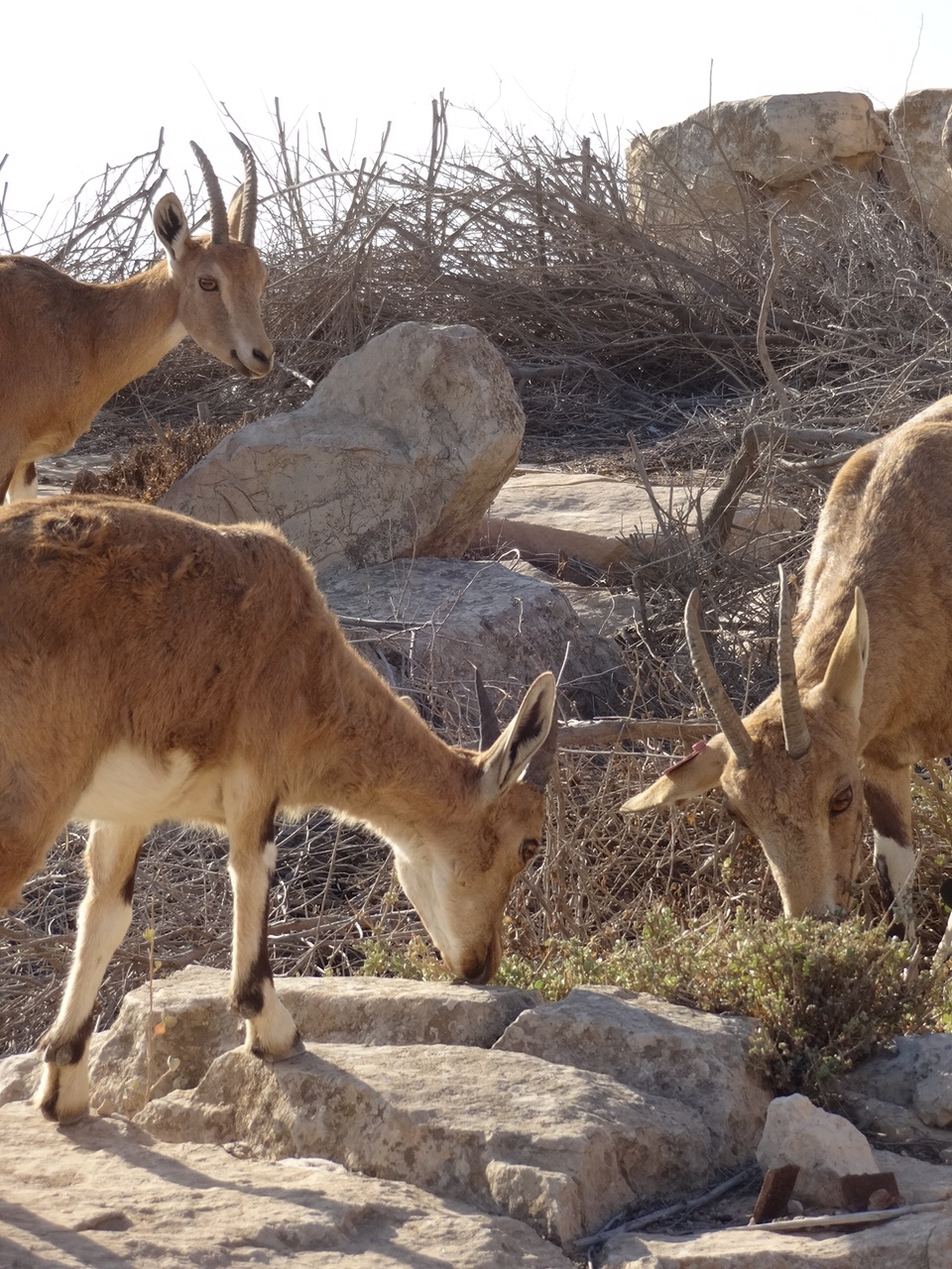 Ibexes at the Beresheet Hotel in  the Negev .