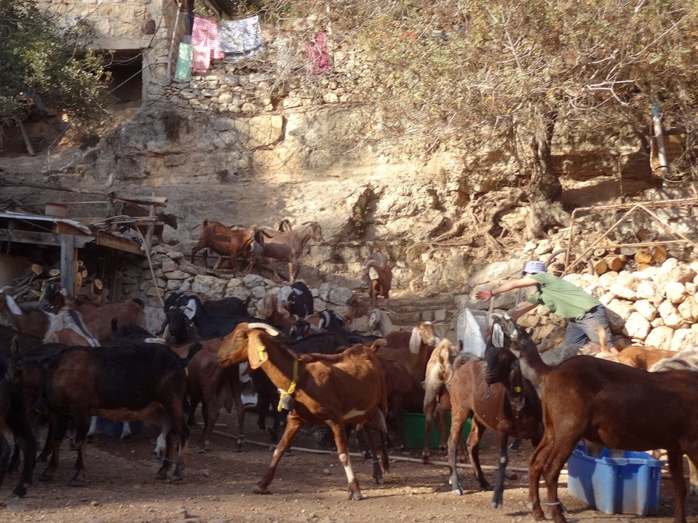 Shai Zeltzer's happy goats heading in to eat