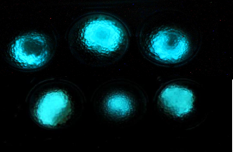 Luminous microbial beads demonstrate the fluorescent signal produced by the bacteria. Image courtesy of Hebrew University