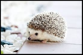 baby hedgehog.jpg