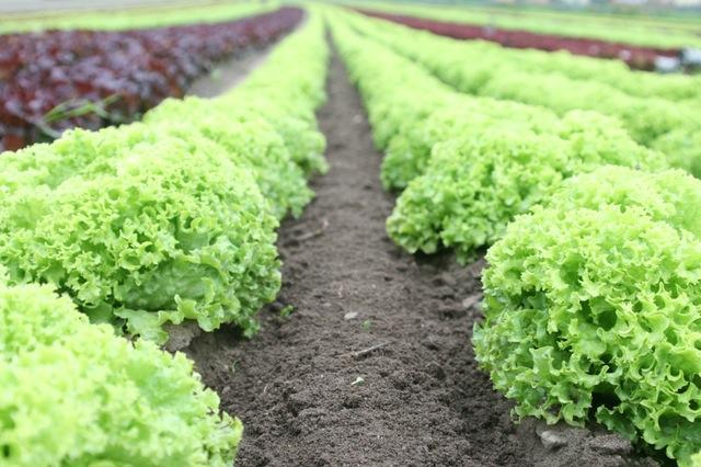 lettus_farm