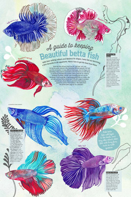 betta_fish_MED