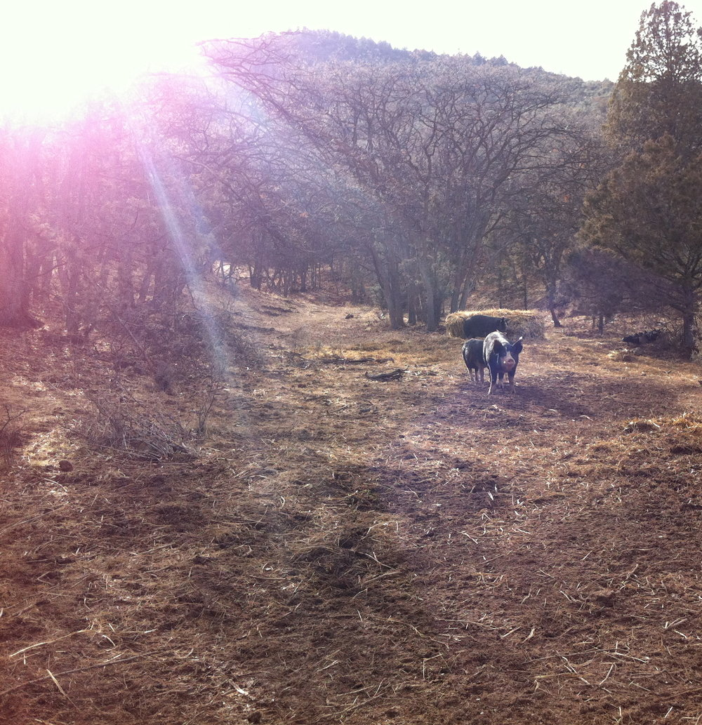 Belcampo's land in Gazelle, CA offers foraging,grazing, playing, roaming and resting opportunities for cattle, swine, sheep, goats, chickens, and turkeys.