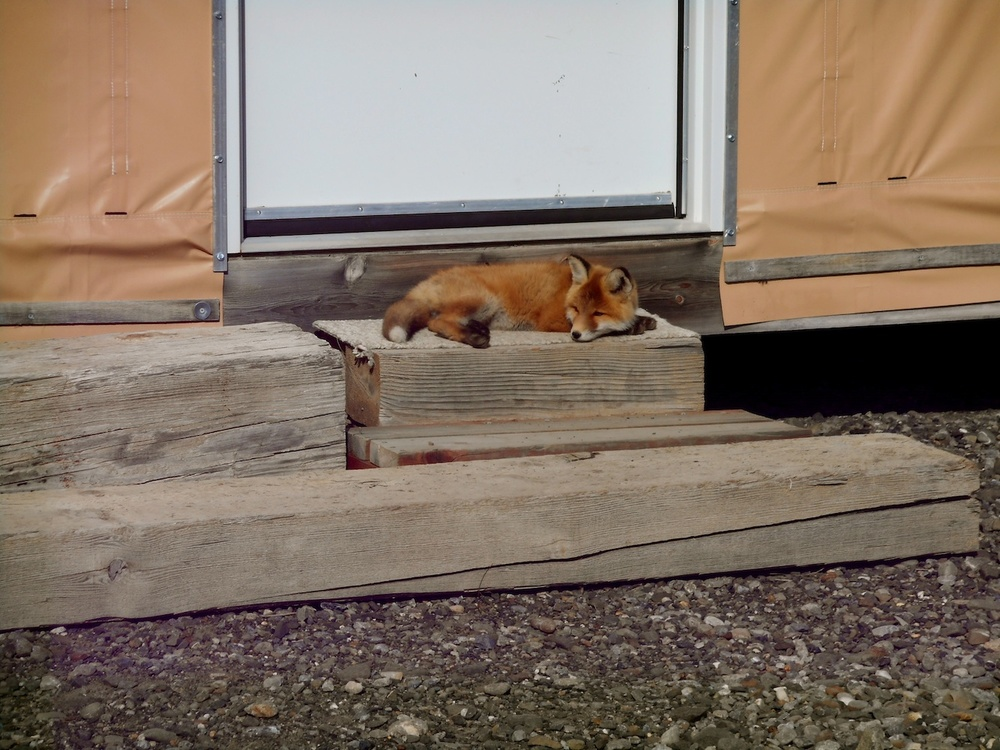 baby fox on my doorstep.jpg