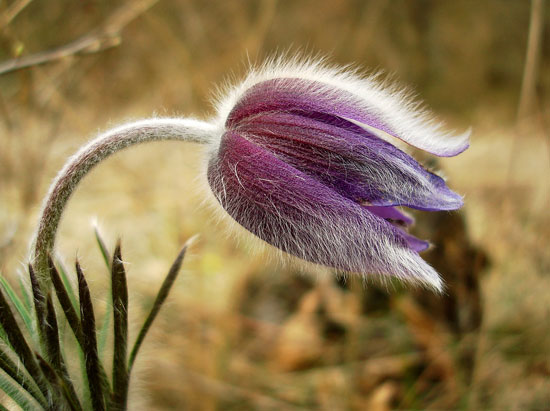 Pulsatilla gives us one of our best-known homeopathic remedies