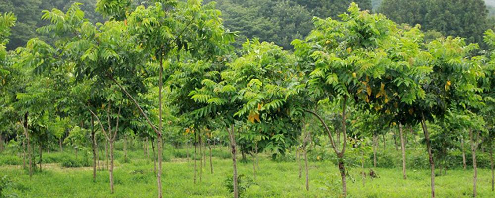 urushi trees via reijunkan.com