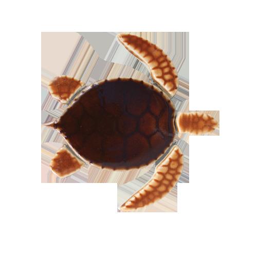 Brown Baby Sea Turtle