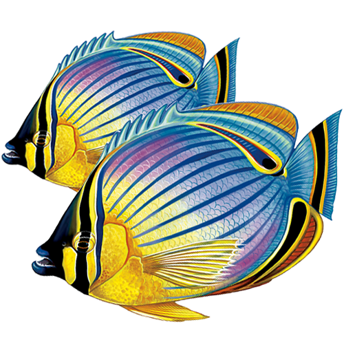 Redfin Butterfly Fish Double