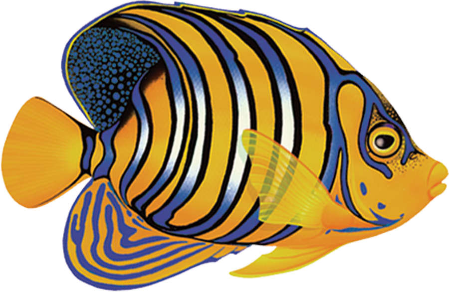 PORC-RF8  Regal Angelfish copy.png