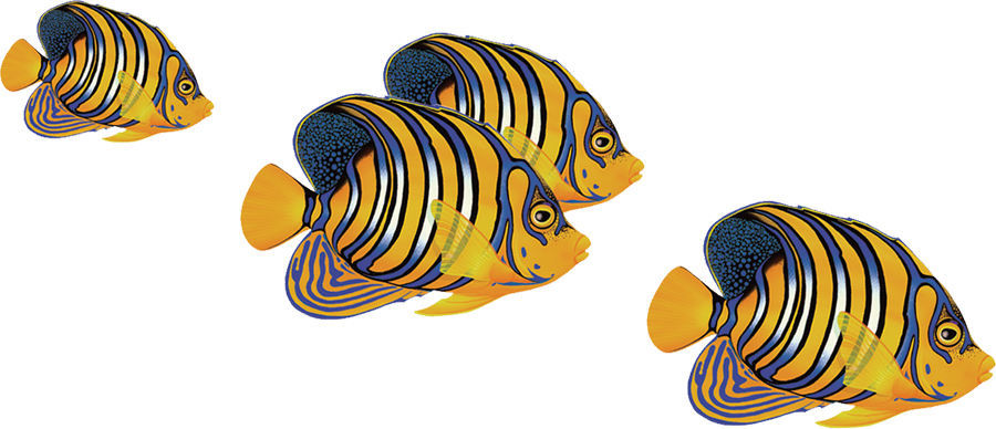 PORC-RF8 Regal Angelfish Group copy.png