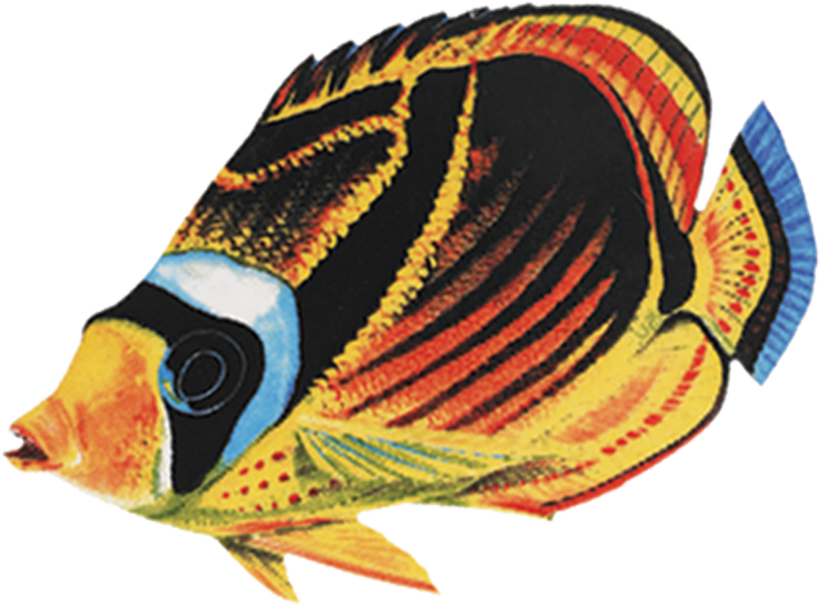 PORC-BF23  Raccoon Butterflyfish.png