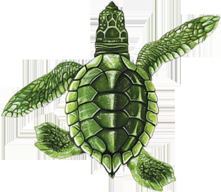 PORC-ST21B  Baby Turtle B (green) copy.png