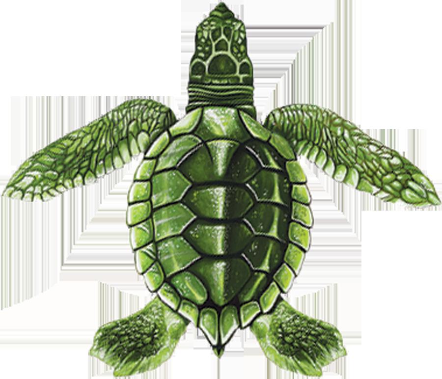 PORC-ST22C  Baby Turtle C (green) copy.png