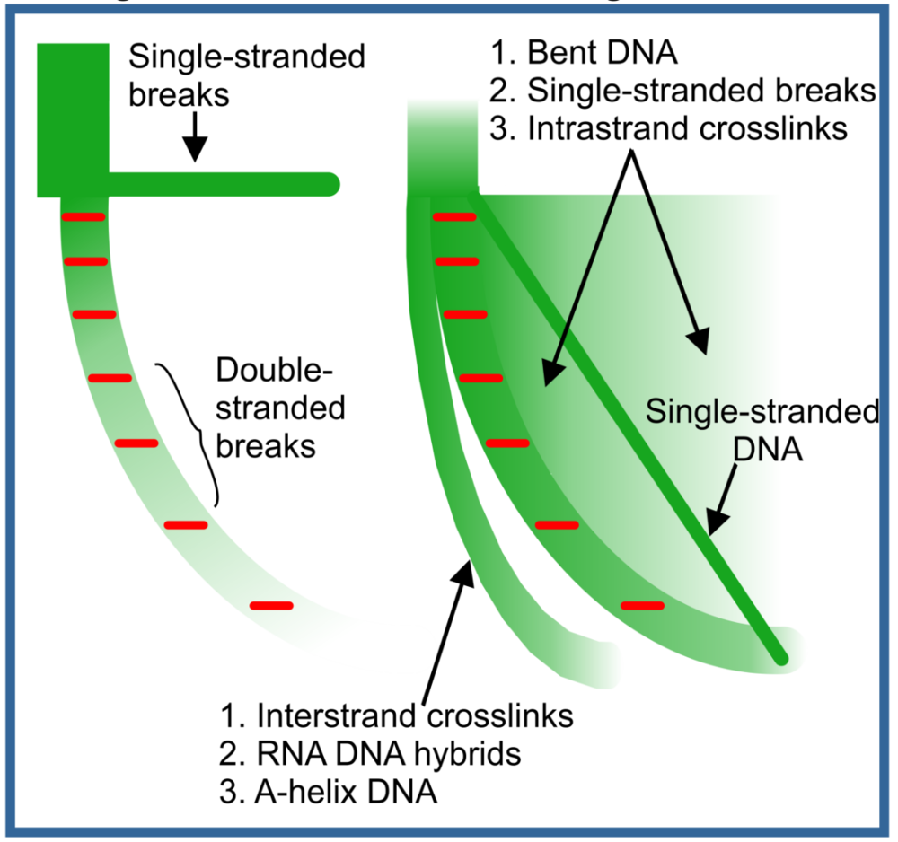 this allows for the quantitation of the various sub-fractions of nucleic  acids – dsdna, ssdna, dna/rna hybrids, inter- and intra-strand crosslinks,  dna