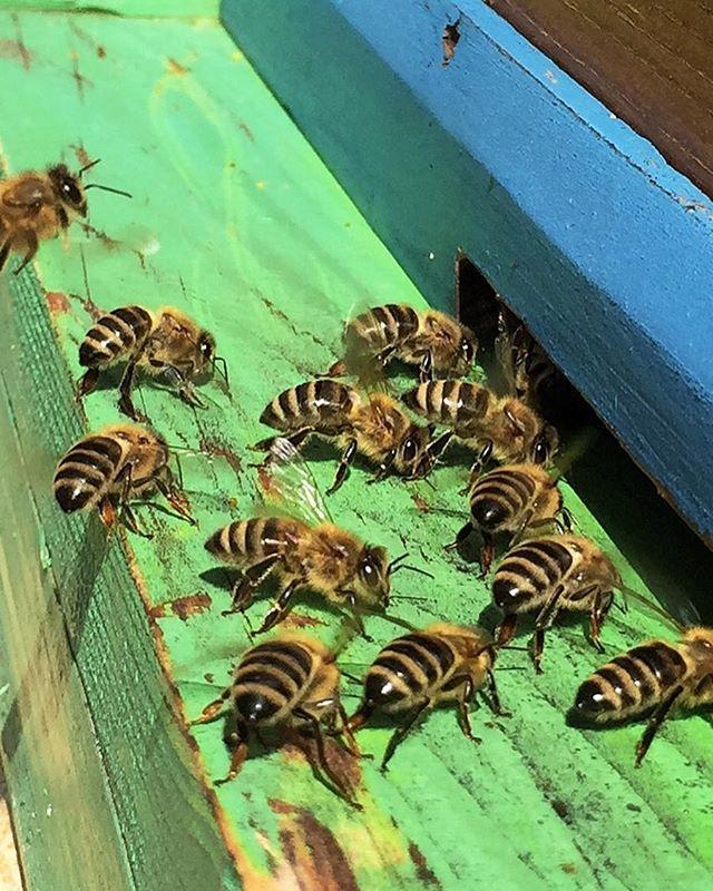 #antonhoney #beekeeping #honeybees #beelove #nature #freebees #carniolanbees #beekeepinglife #savethebees #beehive #slovenianbeekeeping #beethinking