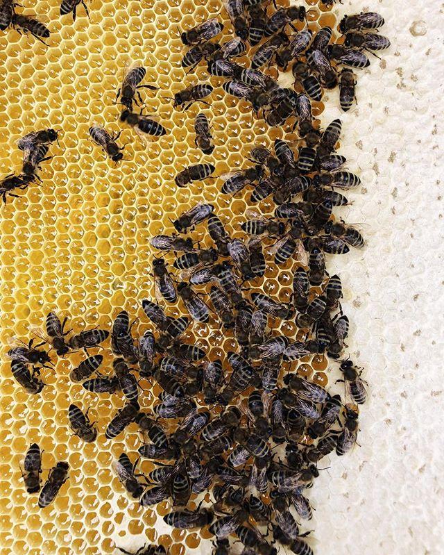 Our girls 💛 #antonhoney #beekeeping #honeybees #beelove #freebees #honeycomb #carniolanbees #beekeepinglife #savethebees #beehive #slovenianbeekeeping #beethinking