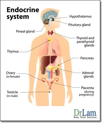 endocrine-system-adrenal-fatigue.jpg