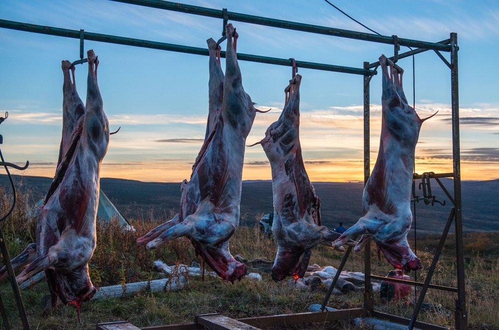 Reinskrottene henger ferske på vidda. Fra helgas slakting. Foto: Ola Bromseth