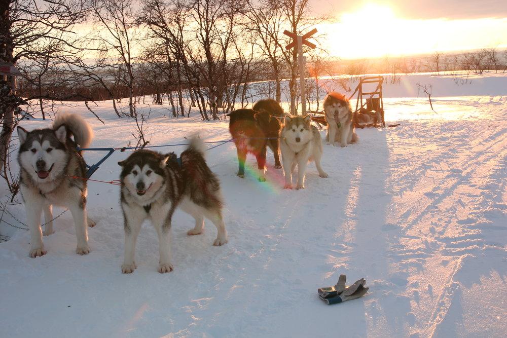 Renraset polarhund er tilpasset for overlevelse og trenger ikke like mye vedlikehold som enkelte andre raser.