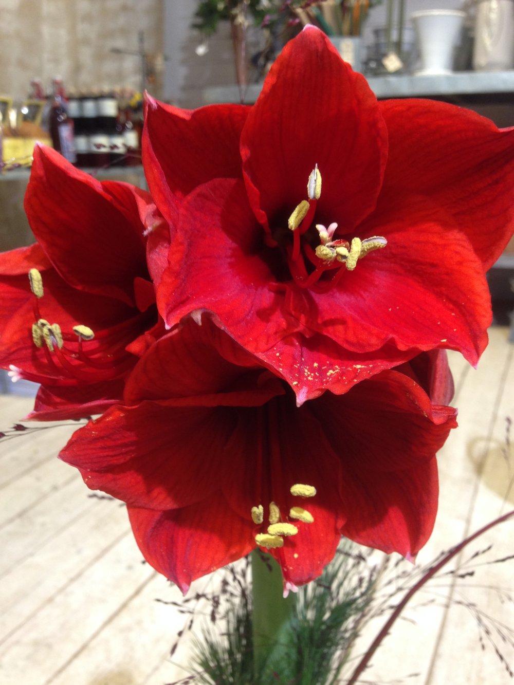 amaryllis röd.jpg