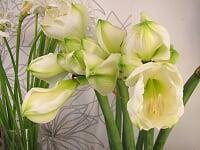 amaryllis vit.jpg