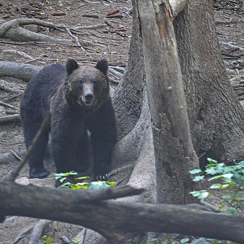 brown bear_0028.jpg