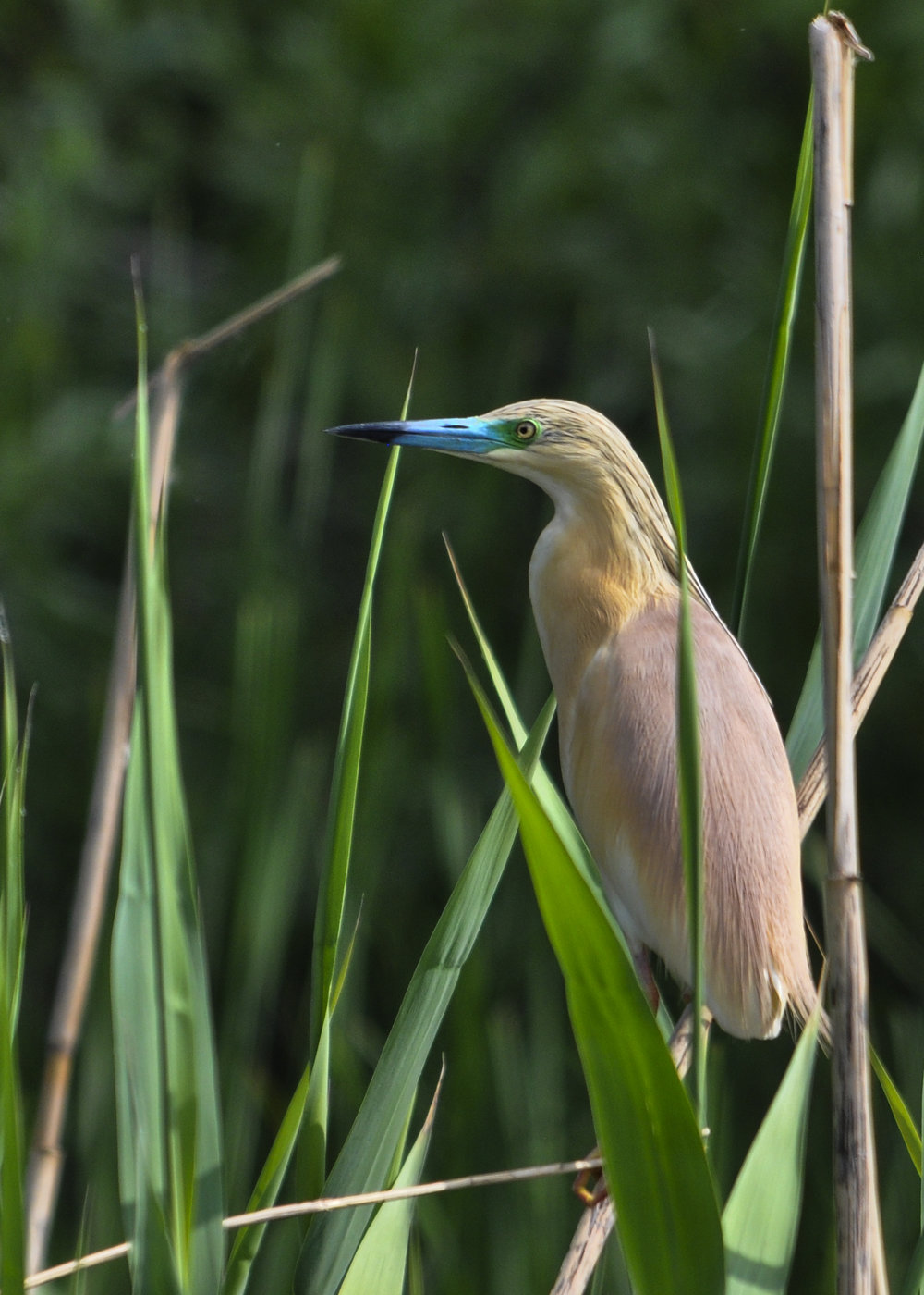 A squacco heron in the Danube Delta (Nikon D90, with Sigma 150 to 500mm. 1/800th sec at f9)