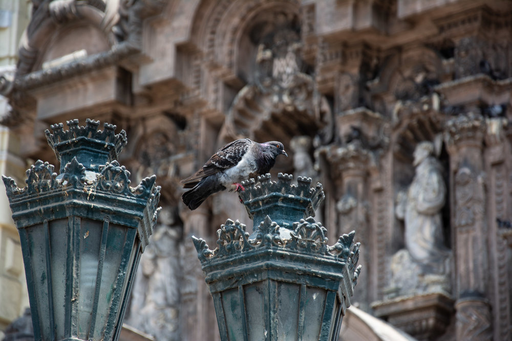 Light Pigeon