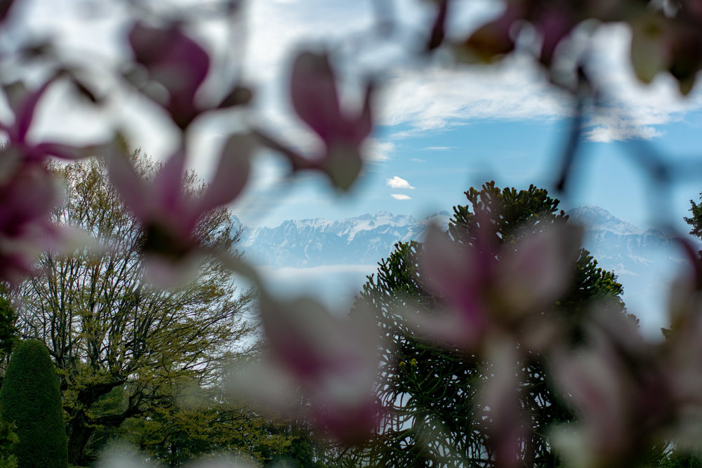 Behind the Magnolia Tree