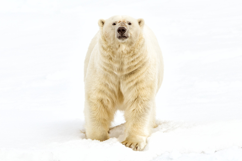 Polar-Bear-Frontal.jpg