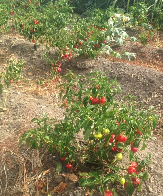 seasoning peppers.jpg