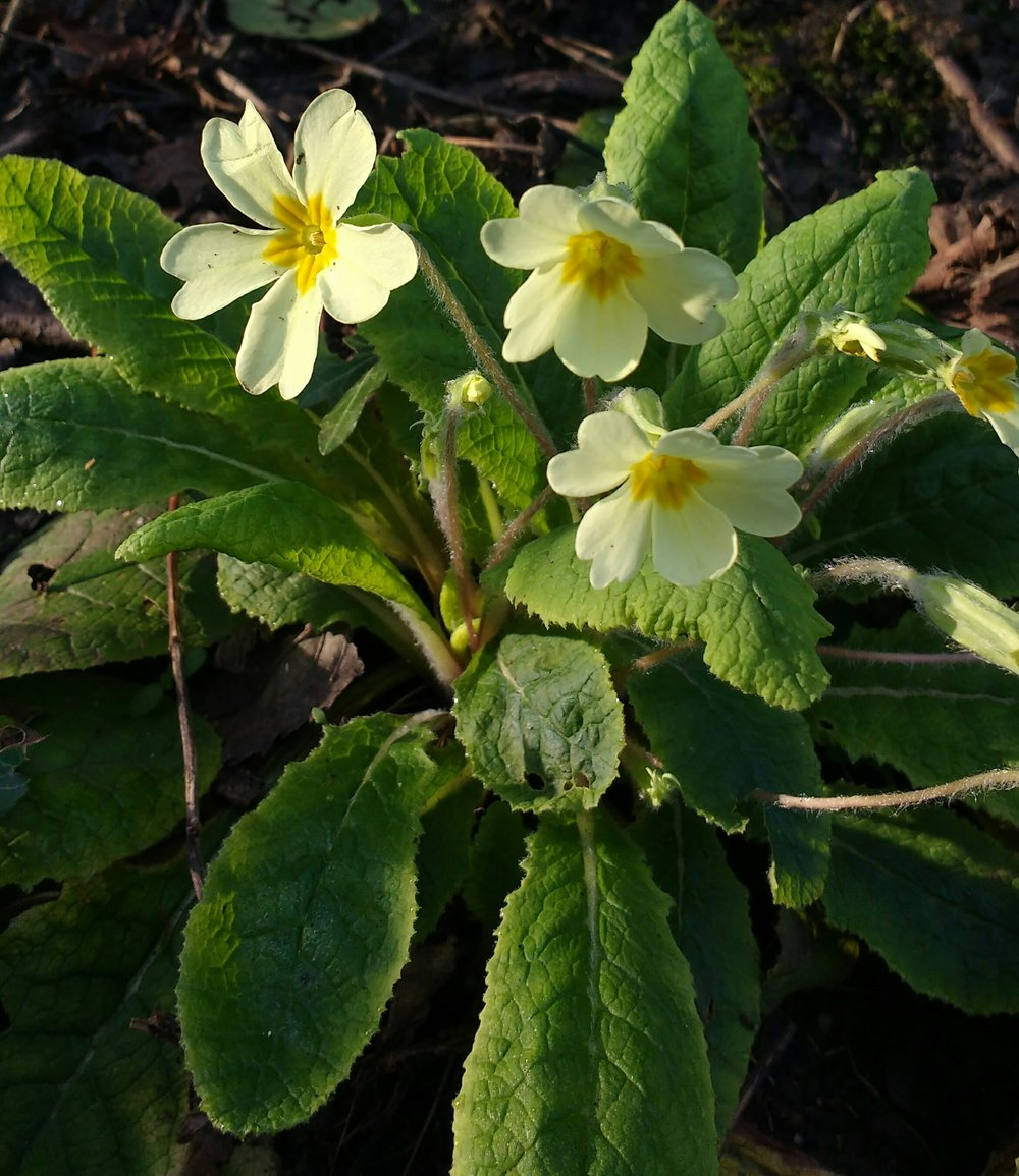 March primrose sydenham hill woods