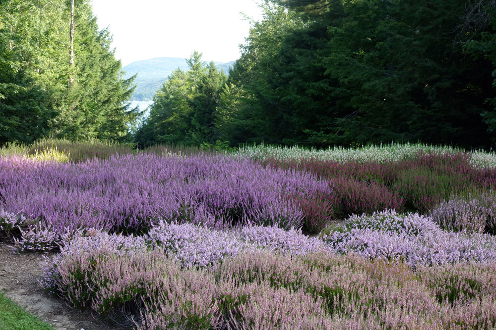 The Heather Bed is home to twenty varieties of Heather plants.