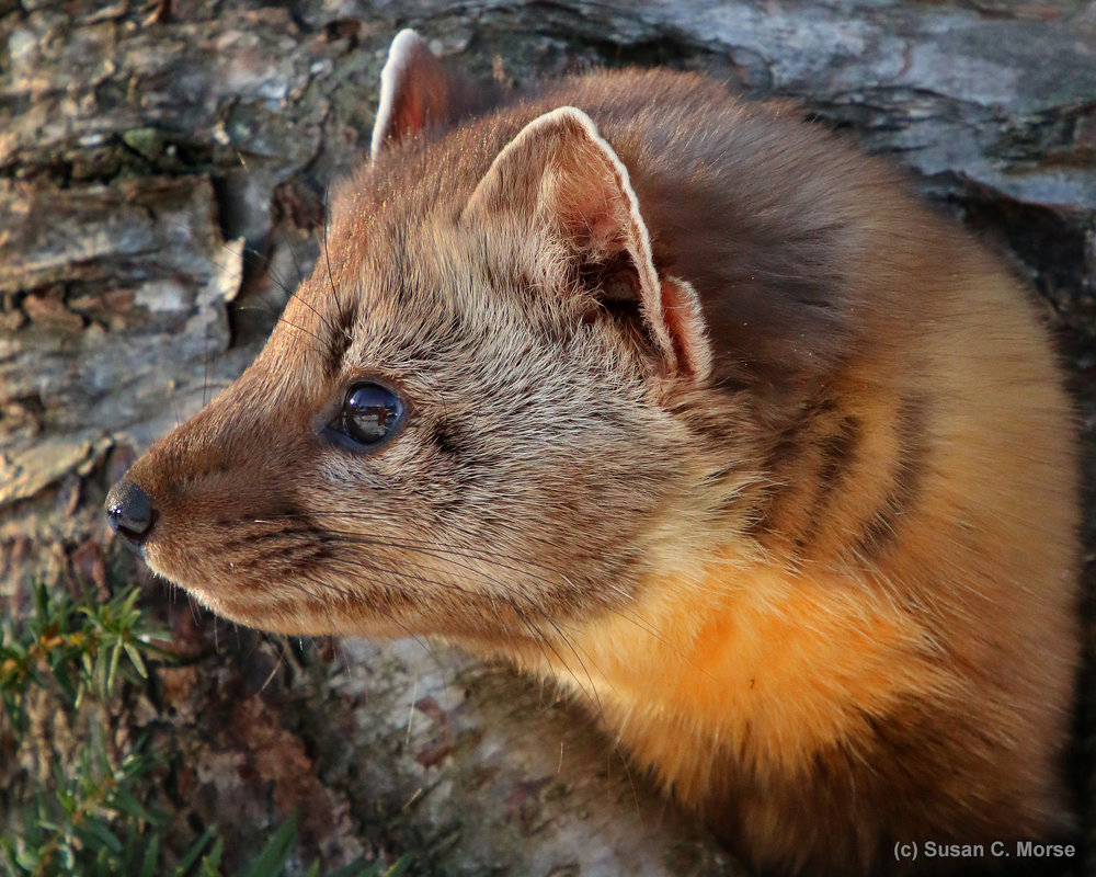Habitat loss has wiped out the American marten in many parts of the U.S. ( Photo © Susan C. Morse )