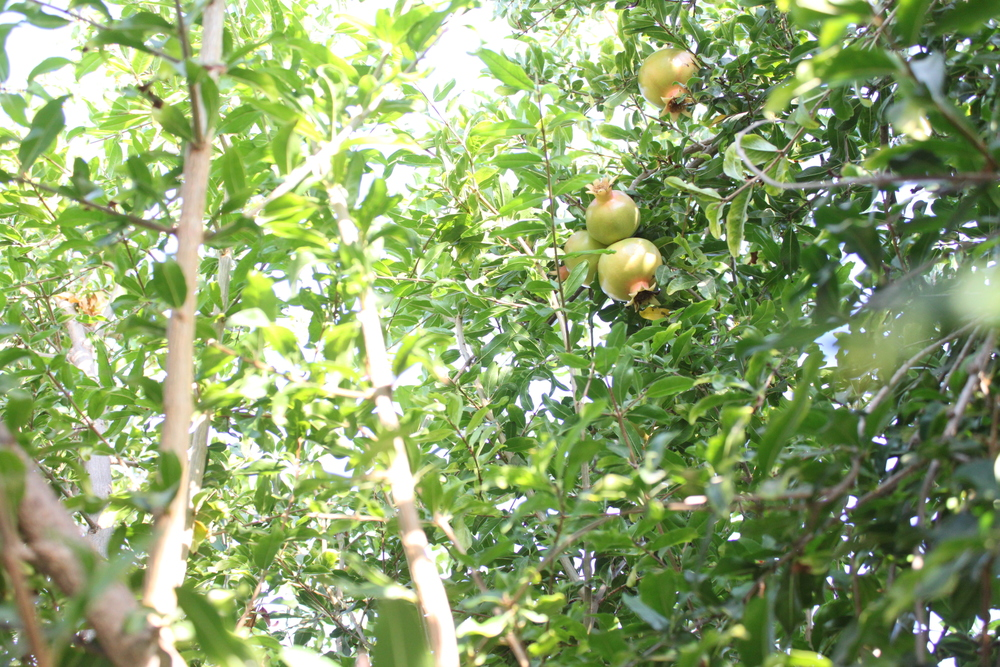 Image of Pomegranate trees in family garden.