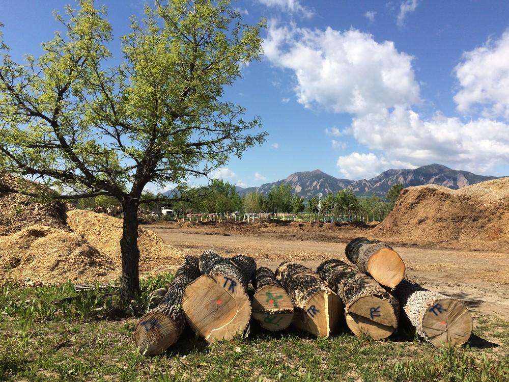 Pre milling ash trees for Tree Debris program.jpg