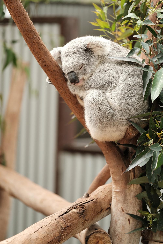 koala_oakvale.jpg