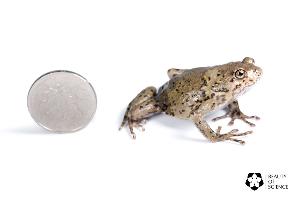 The size of the Sichuan narrow-mouthed frog is relatively small. Here the diameter of the coin is 25 mm.