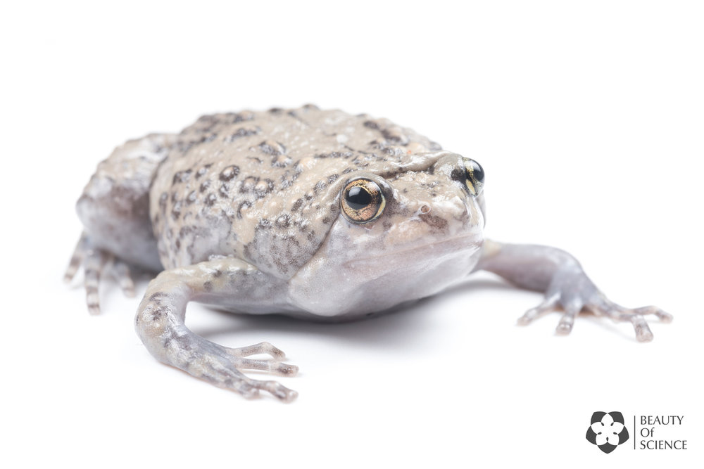 A Sichuan narrow-mouthed frog with grey skin color.