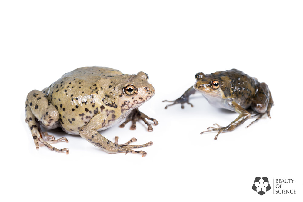 The skin colors of Sichuan narrow-mouthed frogs vary from brown and grey to green. On the left is a female, on the right is a male.
